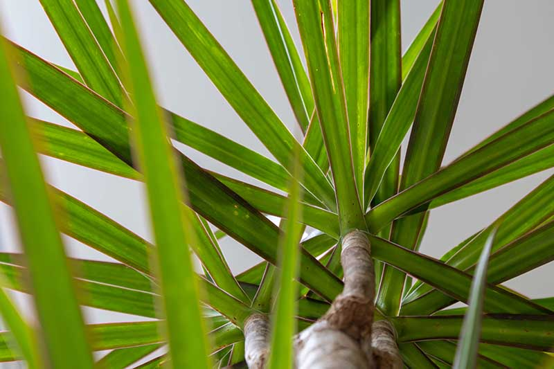 A close up horizontal image of a Dracaena marginata plant pictured from below, growing in a pot indoors.