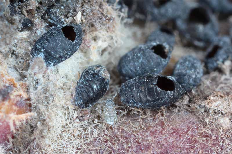 A close up horizontal image of the aftermath of a parasitic wasp attack on a woolly aphid colony, leaving the nefarious pests dead in their wake.