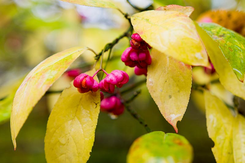 A close up horizontal image of yellow Euonymus leaves with pink ornamental fruits.