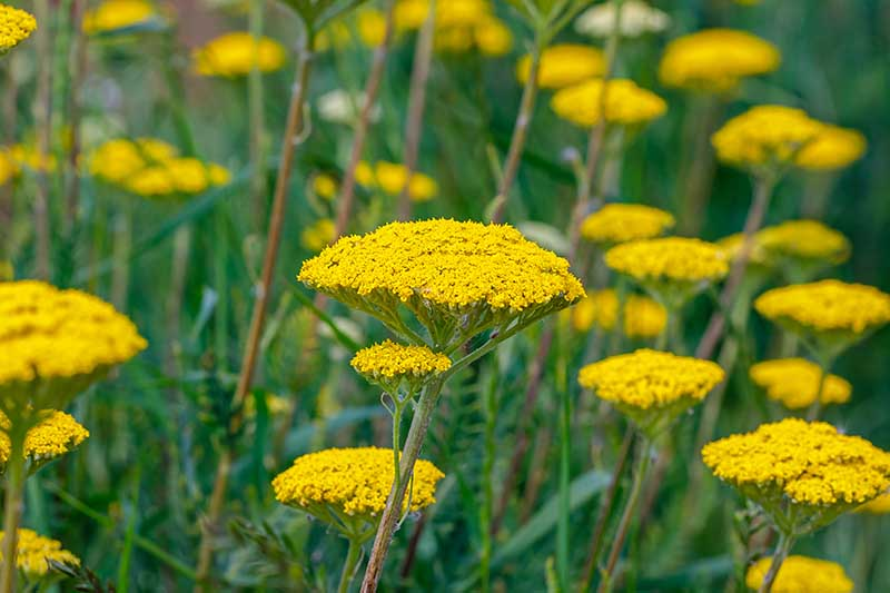 A close up horizontal image of yarrow growing in the garden.