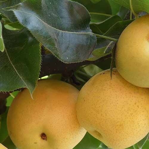 A close up square image of '20th Century' nashi pears growing on the tree, ready for harvest with foliage surrounding them.