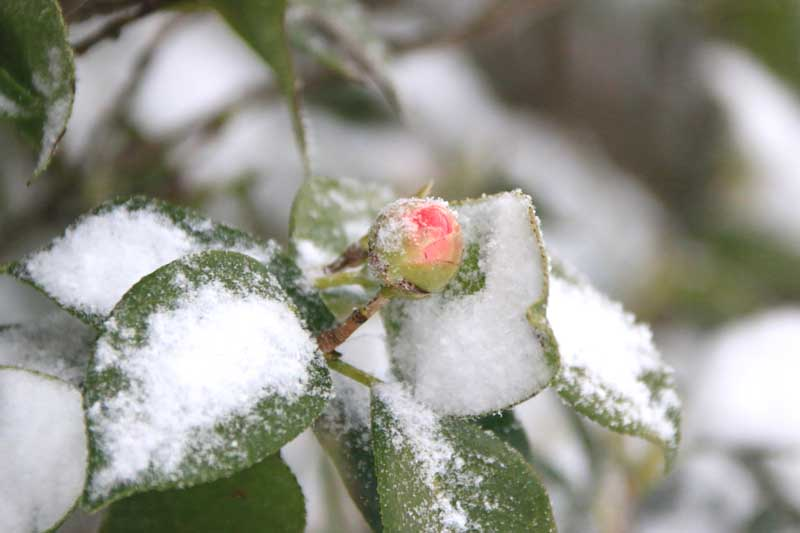 A close up horizontal image of a light pink camellia flower bud covered in a light dusting of snow pictured on a soft focus background.