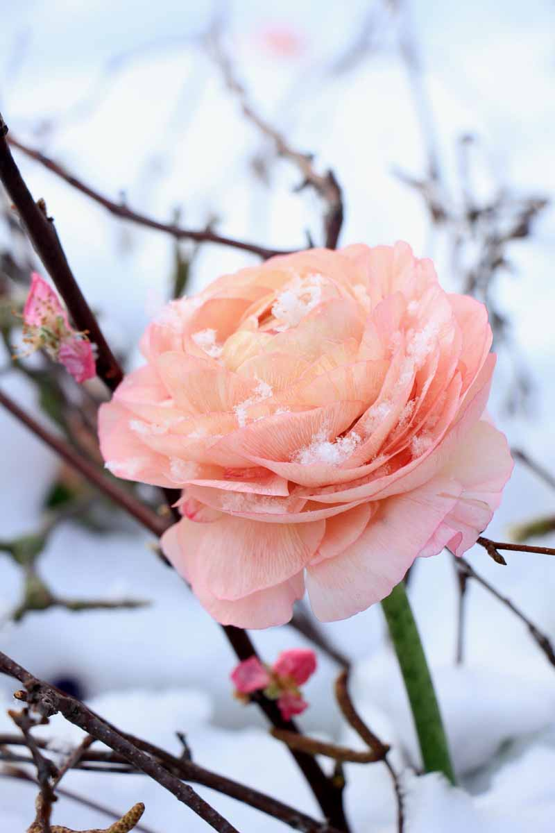 A close up vertical image of a peach colored flower in a winter snowy landscape.
