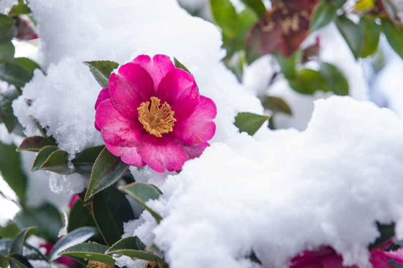 A close up horizontal image of a pink camellia flower growing in snow.
