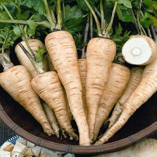 A close up square image of a wooden bowl filled with 'All American' parsnips with the tops still attached.