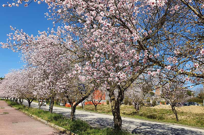 A horizontal image of a row of almond trees in full bloom growing by the side of a street pictured on a blue sky background.
