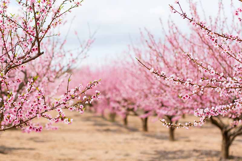 A horizontal image of almond trees growing in rows in an orchard. The trees are in full bloom in springtime.