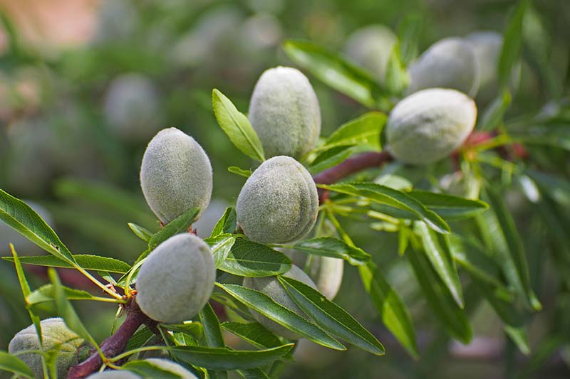 A close up horizontal image of unripe almonds growing on the branch of a tree pictured on a soft focus background.