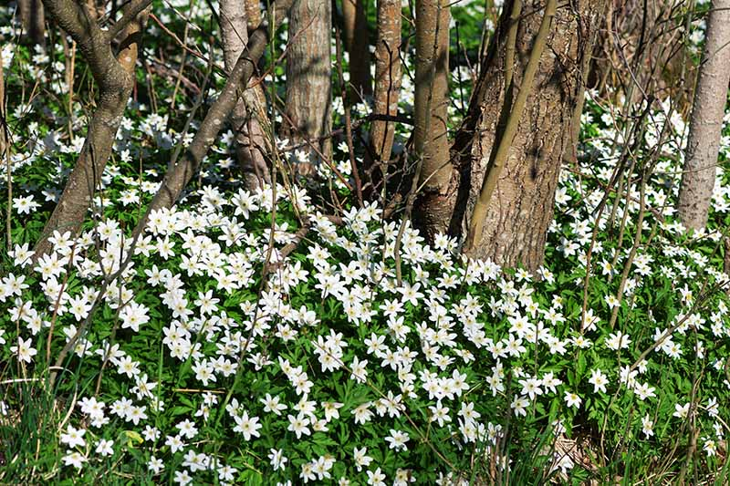 A horizontal image of a large swath of wood anemones growing under trees pictured in light sunshine.