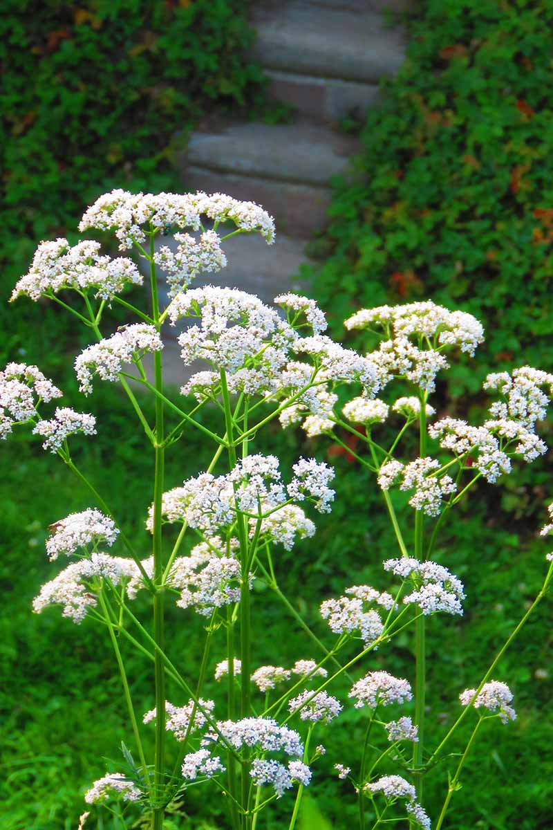 A close up vertical image of the white flowers of anise growing in the garden with steps in soft focus in the background.