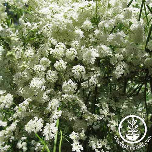 A close up square image of the white flowers of anise growing in light sunshine in the garden. To the bottom right of the frame is a white circular logo with text.