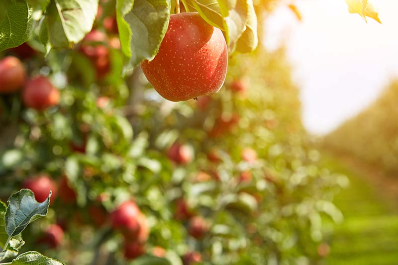 A close up horizontal image of rows of apple trees growing in an orchard pictured in autumn sunshine.