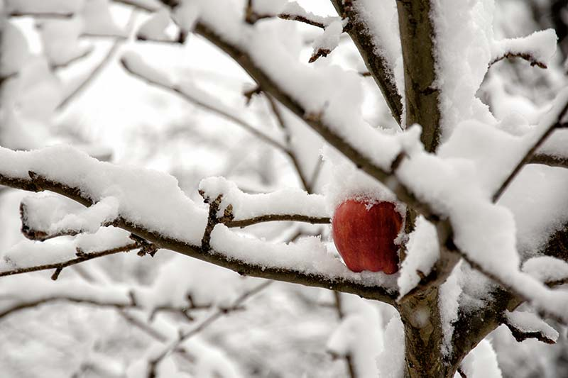 A close up horizontal image of an apple tree covered in a blanket of snow in winter.