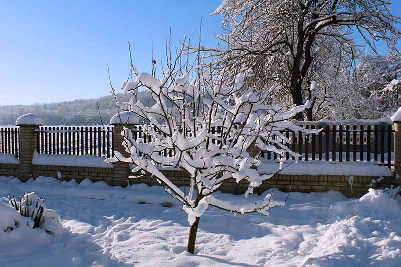 A close up horizontal image of a snowy backyard with an apple tree pictured on a blue sky background.