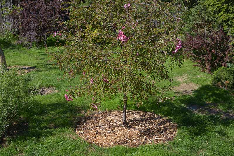 A horizontal image of a young apple tree growing in the spring garden surrounded by a layer of mulch.