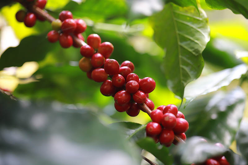 A close up horizontal image of red berries growing on a Coffea arabica bush pictured in light sunshine on a soft focus background.
