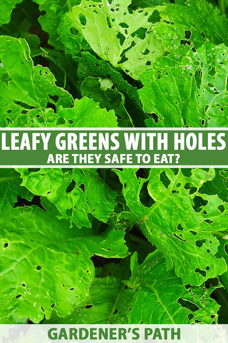 A close up vertical image of leafy greens growing in the garden with insect holes in the leaves. To the center and bottom of the frame is green and white printed text.