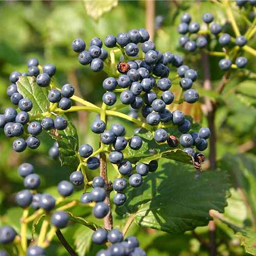 A close up square image of the dark berries of arrowwood viburnum growing in the garden pictured in bright sunshine.