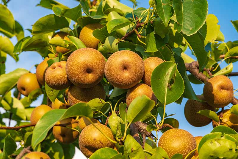 A close up horizontal image of an Asian pear tree laden with ripe fruit pictured on a blue sky background.