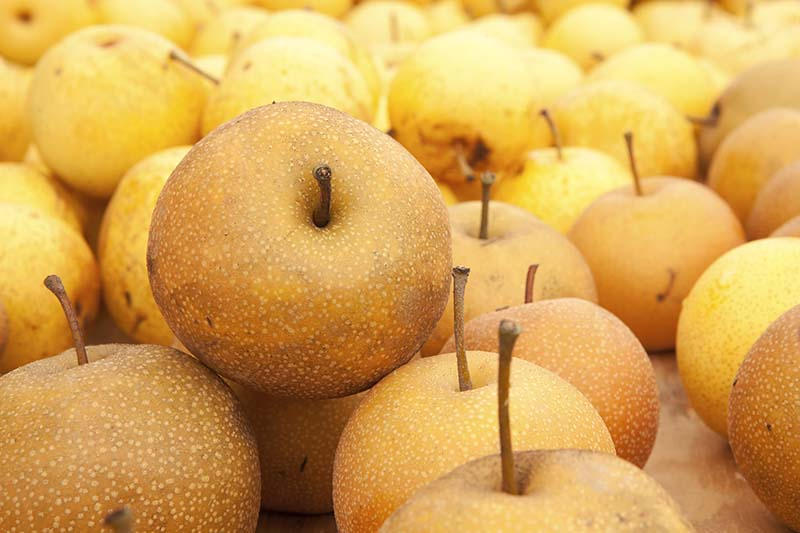 A close up horizontal image of a pile of freshly harvested Asian pears.