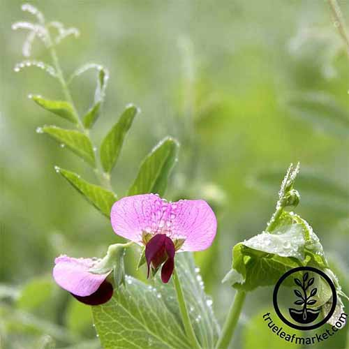 A close up square image of a pink flower of Austrian field pea pictured on a soft focus background. To the bottom right of the frame is a black circular logo with text.