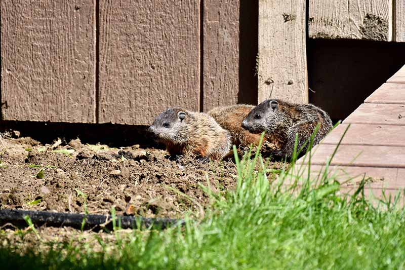 A close up horizontal image of a family of groundhogs emerging from under a wooden structure in search of food.