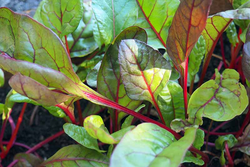 A close up horizontal image of baby leaves of Swiss chard growing in the garden pictured in light filtered sunshine.
