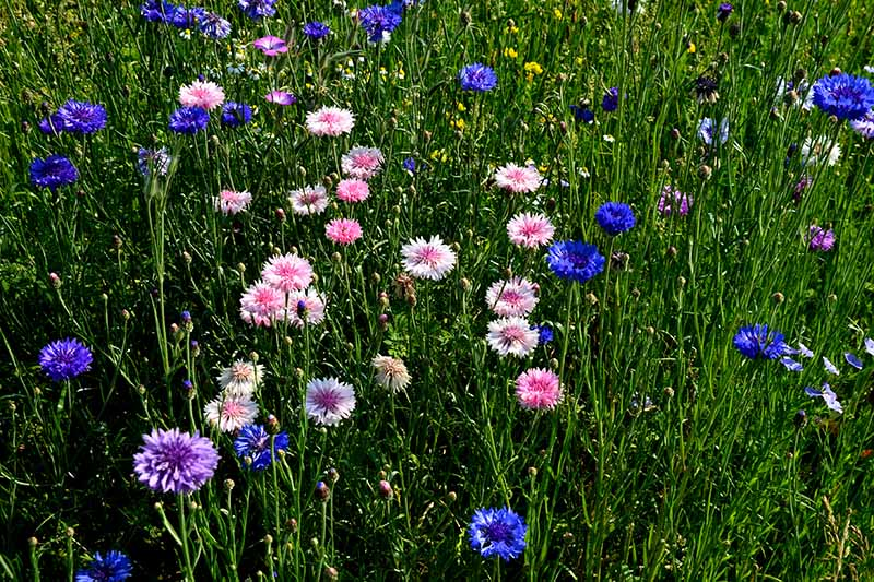 A close up horizontal image of bachelor's button flowers in pink, purple, and blue growing in a meadow.