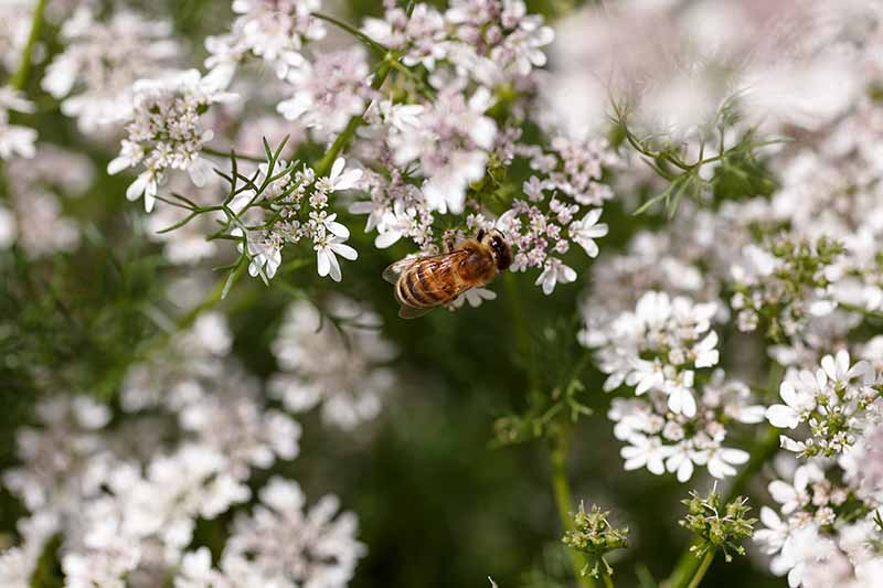A close up horizontal image of a bee feeding from cilantro flowers in the garden.