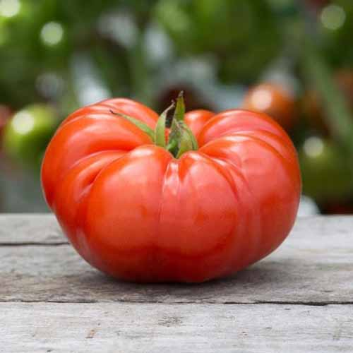 A close up square image of a large beefsteak tomato set on a wooden surface pictured on a soft focus background.