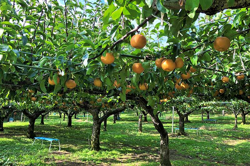 A horizontal image of an orchard growing Asian pears pictured in light sunshine.