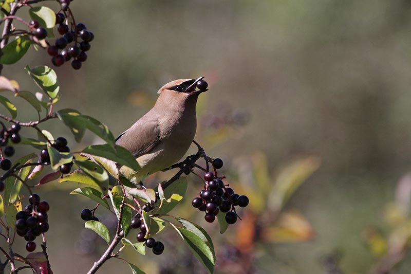 A close up horizontal image of a cedar waxwing bird eating nannyberry fruit pictured on a soft focus background.