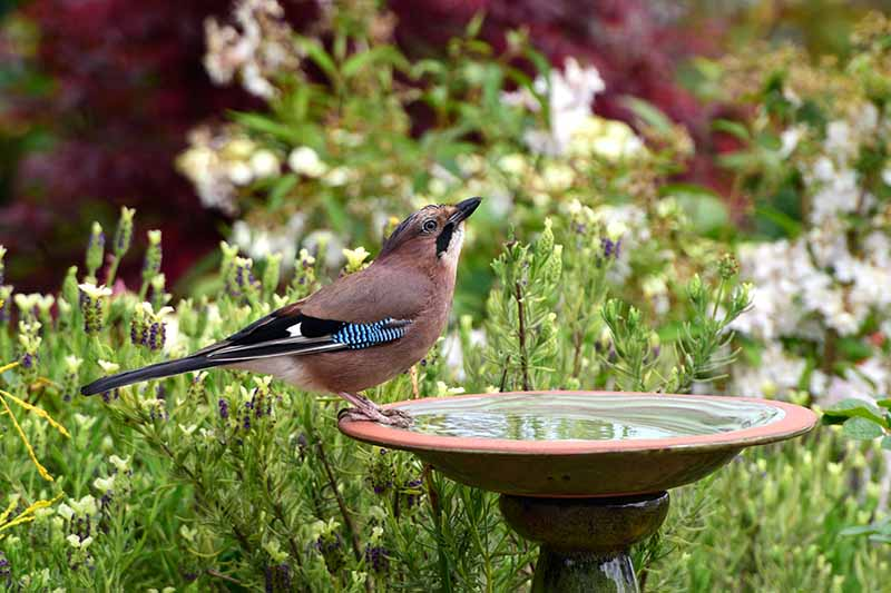 A close up horizontal image of a bird sitting on a bowl filled with water in the middle of a garden.