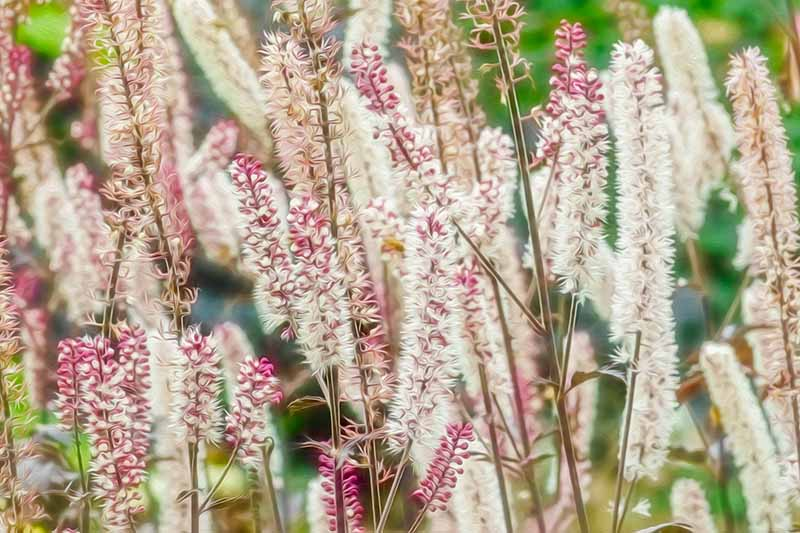 A close up horizontal image of the pinkish white flowers of black cohosh growing in the garden.