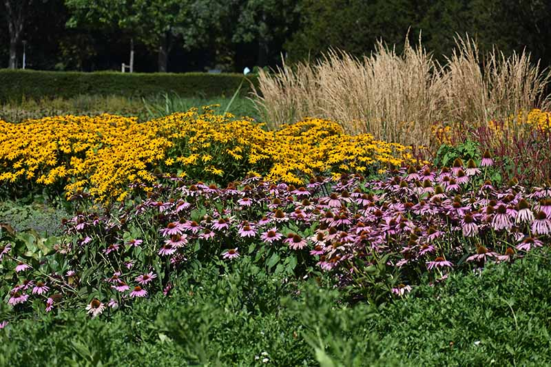 A horizontal image of a landscape planted with black-eyed Susans, ornamental grasses, and coneflowers pictured in bright sunshine.