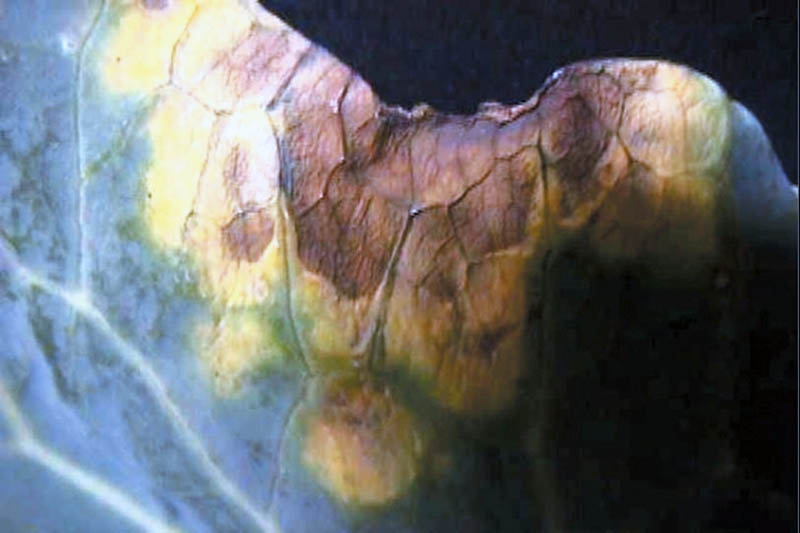 A close up horizontal image of the edge of a cabbage leaf showing symptoms of black rot pictured on a dark background.