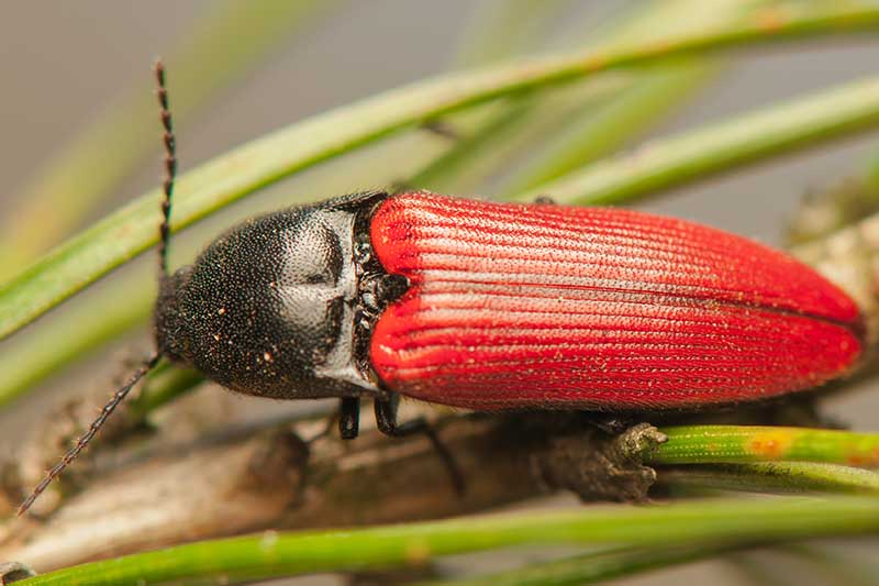 A close up horizontal image of a red and black click beetle resting on a stem pictured on a soft focus background.