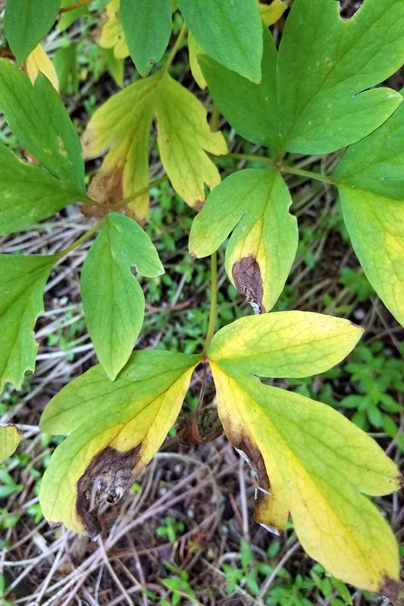 A close up vertical image of a bleeding heart plant with yellow and brown foliage.