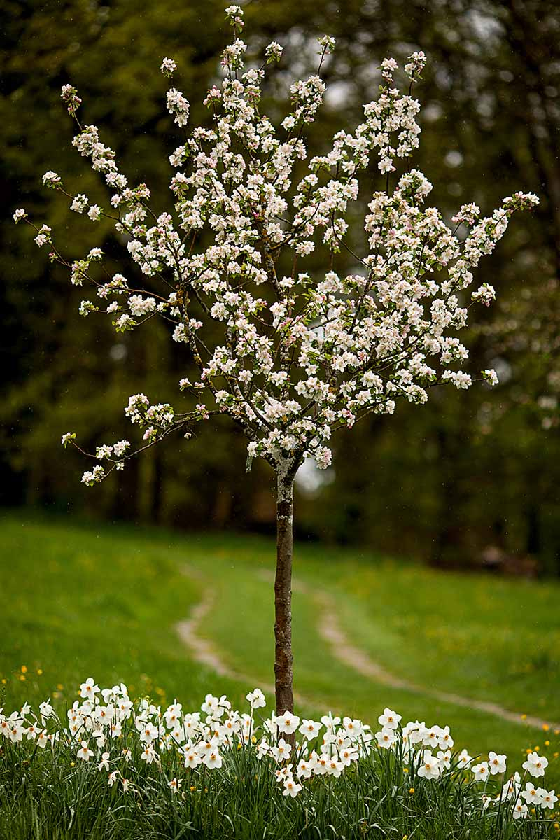 A close up vertical image of a young fruit tree in full bloom with daffodils growing around its base.