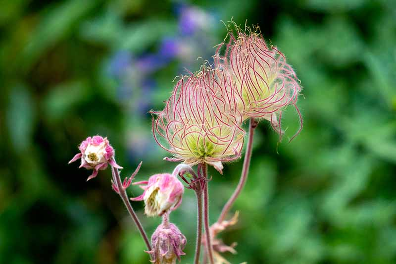 A close up horizontal image of prairie smoke (Geum triflorum) growing in the garden pictured on a soft focus background.