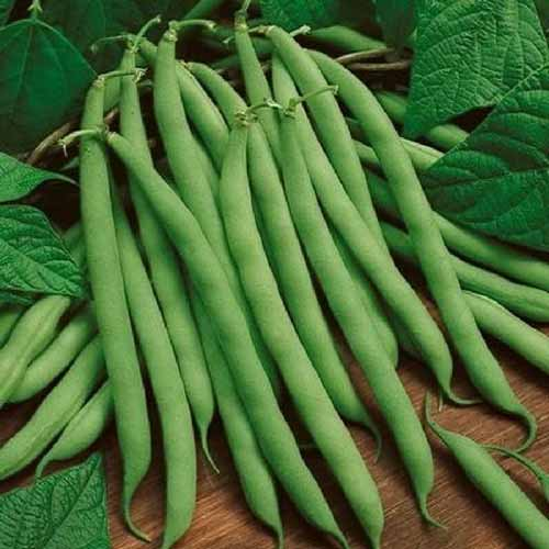 A close up square image freshly harvested beans set on a wooden surface with foliage in the background.