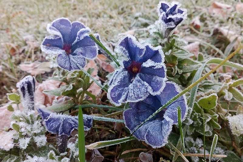 A close up horizontal image of blue petunias growing in the garden covered in light frost.