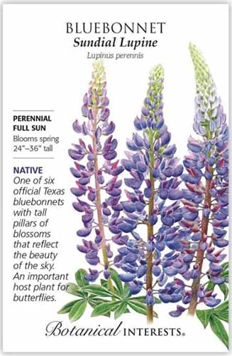 A close up vertical image of a seed packet of bluebonnet sundial lupine with text to the left of the frame and a hand-drawn illustration to the right.