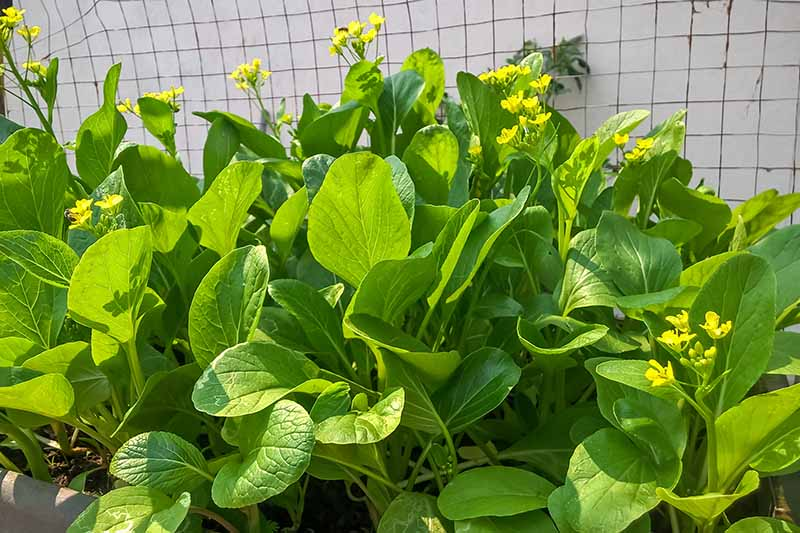A close up horizontal image of bok choy growing in the garden with bright yellow flowers pictured in light sunshine.