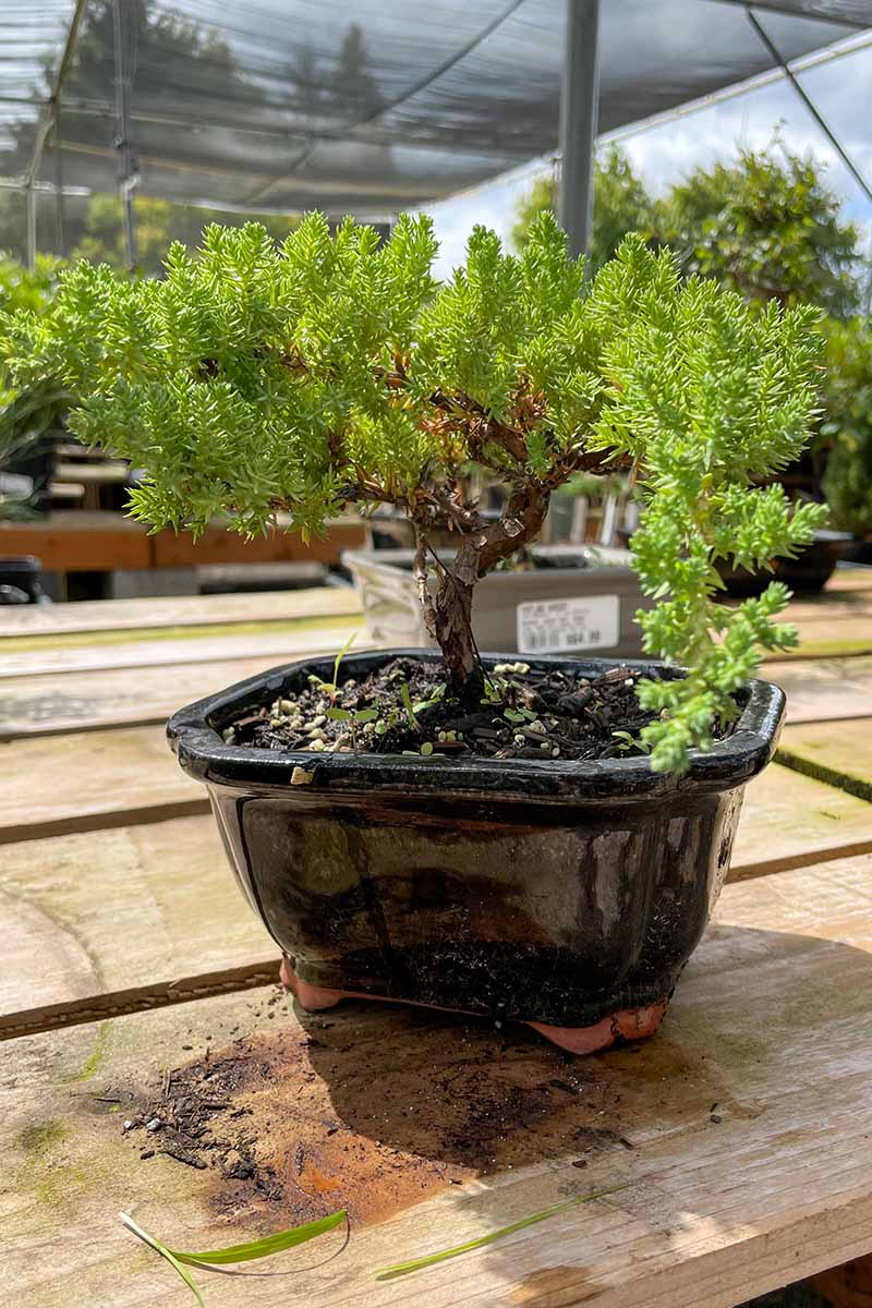 A close up vertical image of a small bonsai tree growing in a black ceramic pot at a plant nursery.