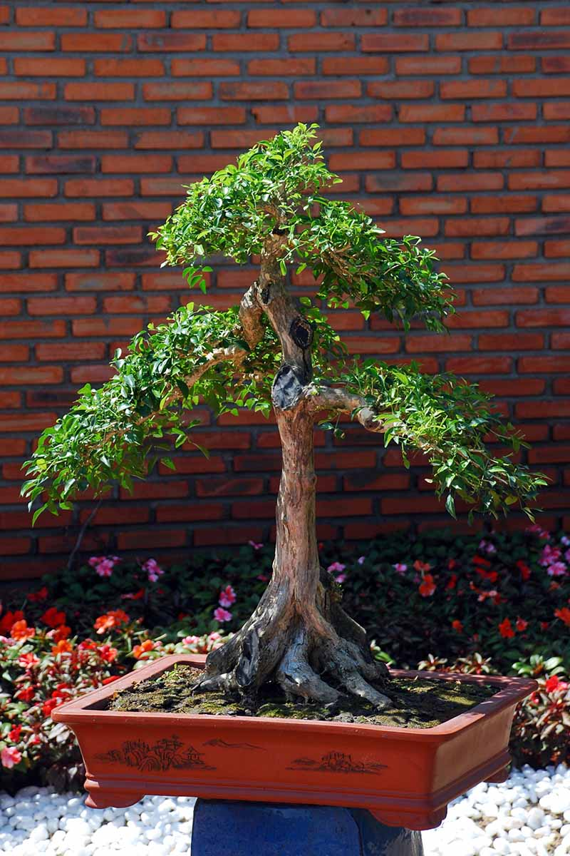 A close up vertical image of a small tree growing in a garden bed that has been pruned into a miniature shape with a brick wall in the background.