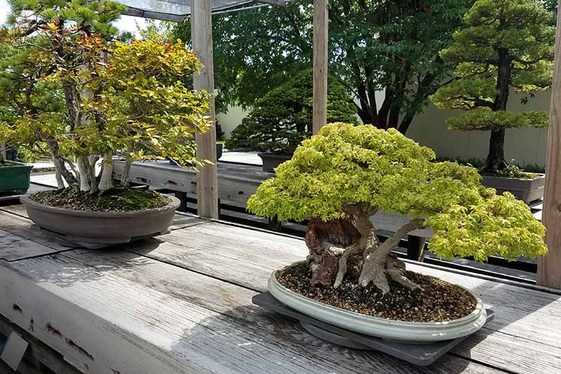 A close up horizontal image of two bonsai trees set on a wooden surface in light sunshine.