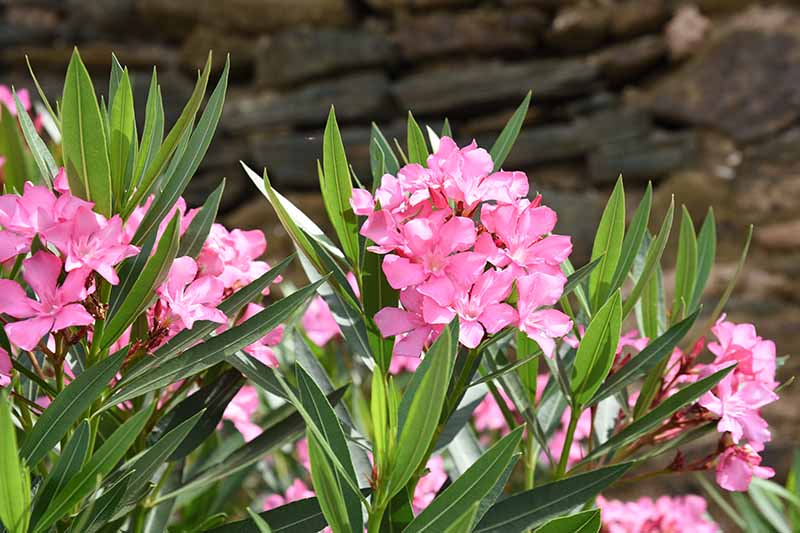 A close up horizontal image of pink oleander flowers growing in the garden pictured on a soft focus background.