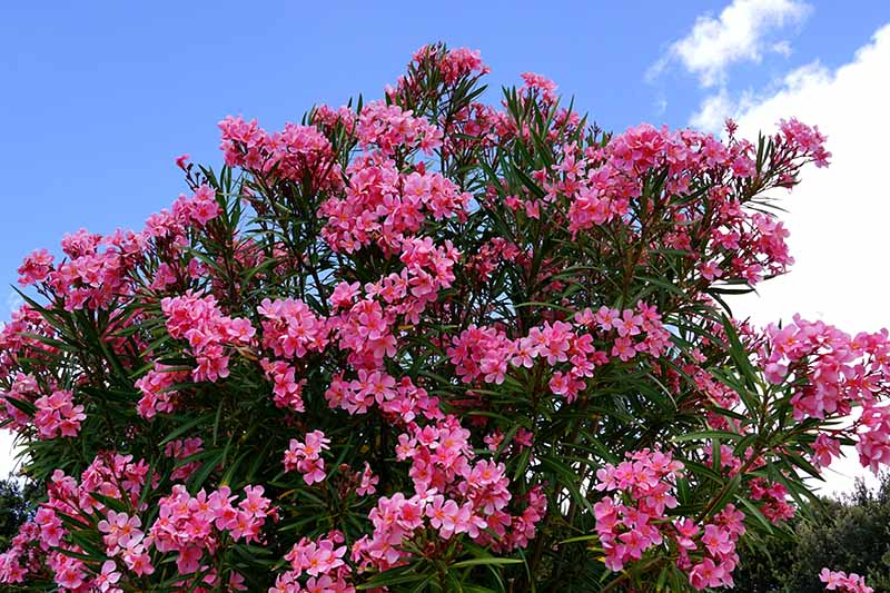 A close up horizontal image of an oleander shrub covered in a profusion of pink flowers pictured on a blue sky background.