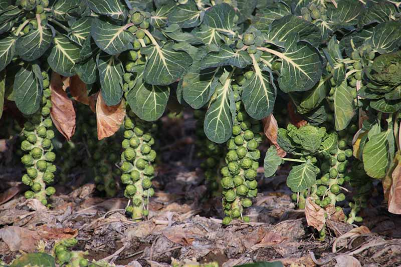 A close up horizontal image of brussels sprout plants that have been neatly pruned, almost ready to harvest.